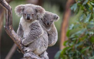 I Koala, tra le spece più colpite.